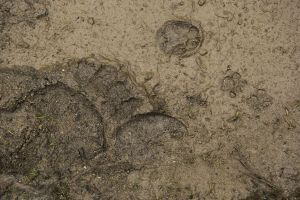 Crowdy place: Brown bear, Red deer, Red Fox and Wild cat footprints