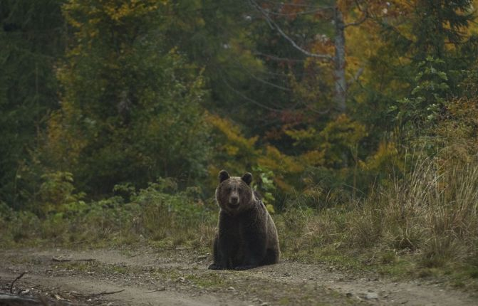 The Brown Bear (Ursus arctos) is the largest predator from the Carpathians.