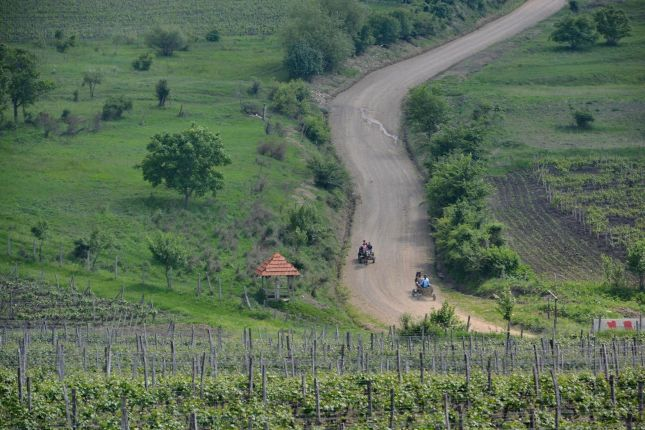 vines in Dealu Mare
