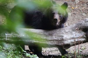 A bear seen at the hide in Stramba valley