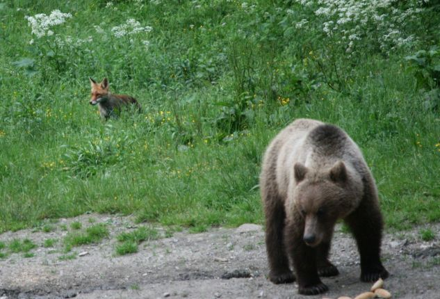 bear and fox at the hide