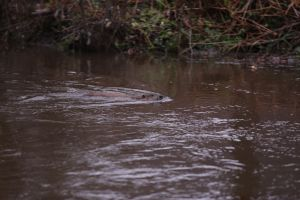 Spot the beavers