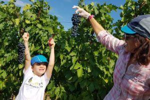 Romanian grapes