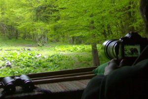 wild bear watching at the hide