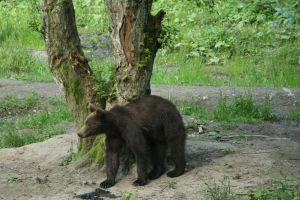 bear natural behaviour