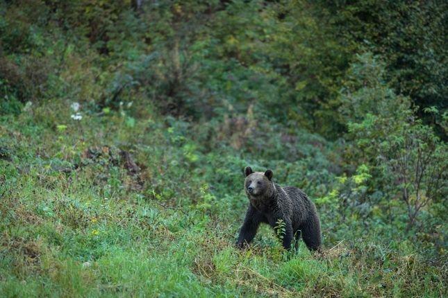 Bear observation