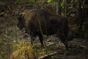 NEW: Bisons reserve & rewilding programme