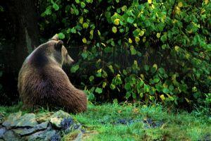 The brown bear in Transylvania