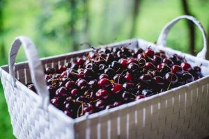 June cherries fresh from the orchard