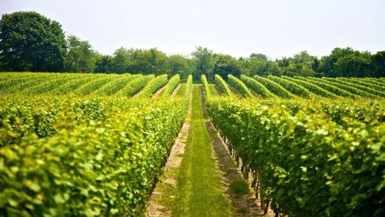 wine vineyards in Romania